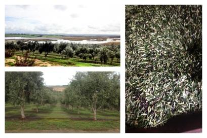 Lake Alexandrina, Olive Groves, Leaf problem in olives