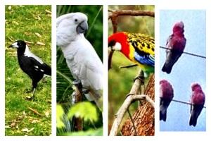 Magpie,Macaw,Lorikeet,Malah