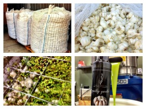 Fresh Garlic crushed together for our Guilty Garlic olive oil.  Check out the impressive 2000 lb sacks!